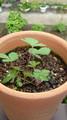 PLANTEDの付録の種を蒔いたのが一年前、全然芽が出なくて適当に水 やり