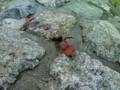 ザリガニ発見。賀茂川にもいたんだ。