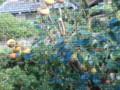[minarukuji]裏庭の柿