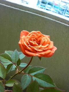 ミニバラ咲きました、テディベアっていう品種です