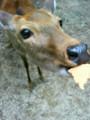 [chch] わいが鹿や!