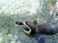 泳ぐブランカさん。
