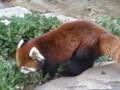 レッサーパンダさん。