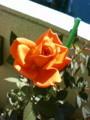 [chch]数時間ですっかり咲いちゃったバラ
