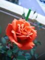 [chch]このぐらいの咲き具合が好き
