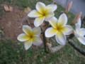 沖縄でプルメリアは夏だけと聞いてたのに。嬉しい!