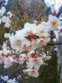[sgtb] 亀戸天神の梅、まだ三分咲きって感じのもあった