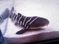 トラフサメの子供が産まれたときいて見に行ったよ  カワイイ