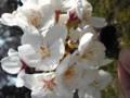 駐車場に落ちていた桜の枝