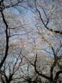 小金井公園は7分咲きぐらいだったけど十分楽しめた。ただ、人が多す