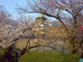 hanami au chateau Osaka!
