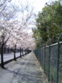 去年の桜木花道