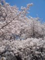 小金井公園で花見