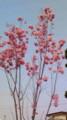西公園の桜を見にいきたかったけど近所ので我慢する。でも、これ桜?