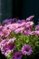 家の庭先に咲いてた花を撮ってオシマイですよ(笑)