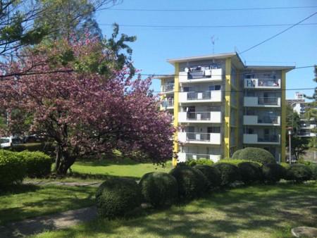 散歩中。八重桜と団地の名物、星型住宅。