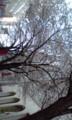 南1条の旧長崎屋の前にて。もう桜は綺麗に咲いてますね。