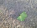 あ、緑の銀杏の葉が〜@西麻布