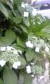 大発見 アサガオは外側から咲く(酩酊)