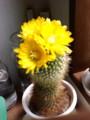 [nra]仙人掌の花が咲いたよ
