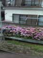 井の頭線沿い、紫陽花が綺麗だ