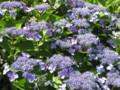 紫陽花って ちょっとブロッコリーに似てるかも?