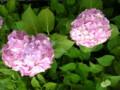 紫陽花は夕方が綺麗