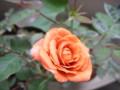 [chch]あと時間あるからこれは今朝ベランダで咲いた花。