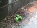 庭のコンクリートの隅にアサガオが生えてきてる。なんという生命力!