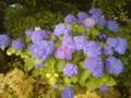 紫陽花 昨日の雨で庭の紫陽花、綺麗に咲きだしました(^o^)/