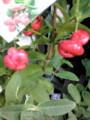 珍しいフルーツ「ウオーターアップル」東南アジアでは庶民的な果物で