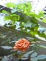 [chch]おはよー。ベランダでバラが咲いたよー。奥の葉っぱはあさがおだけど