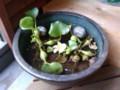 夏らしく、ホテイソウなど植えてみた。