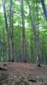 ブナ林ちょうきれい!美人林だって!