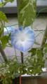 家のアサガオがいい感じに咲いてたので写メ。これは花が大きくて10㎝