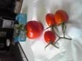 今年のトマト あいこです