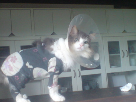 友達んちのネコちゃんです。アトピーのためエリザベスをして浴衣を着