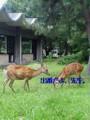 @hayashiyutaka 去年の燈花会で、「My 鹿」って、またがったら、厭がられた
