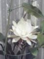 月下美人開花。優美な香りに包まれてます。