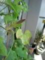下 わああー!花は絶望的かと思われたアサガオにつぼみ!