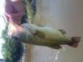 釣れました。久し振りなんでデカくみえたけど、42センチですた。