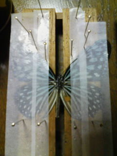 トカラ列島以南に生息するリュウキュウアサギマダラ(大きく一匹で写