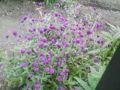 花 秋の花 何て言う花なんでしょう?
