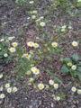 よく見たらいっぱい咲いてる。ちなみに本名はたぶんハルジオン(春女