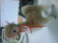 リャマー! ペルー土産 リャマ毛のリャマたん