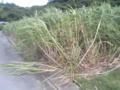 台風でサトウキビがこんなになってます。