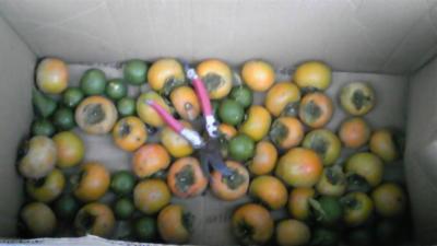 今日の収穫。柿、カボス、それにカボチャ!