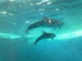 イルカの親子。仲良いなぁ… 育児頑張ろうって思えた。