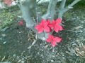 母と庭仕事なう。ドウダンツツジの新芽も紅葉
