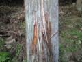 確信は持てないけど、多分、ツキノワグマの皮剥ぎ跡。近年、植林され